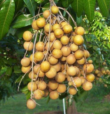 ... lerakan atau sapindaceae adalah tanaman buah buahan yang berasal dari